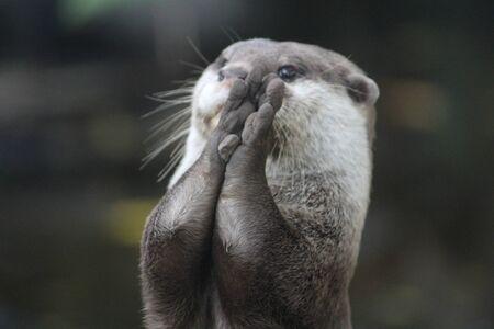 Nahaufnahme von Otter, der mit Rock spielt?