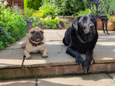 french bulldog and labrador dogs laying together on patio in garden in summer