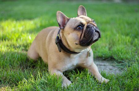 french bulldog dog laying in grass in sunny garden
