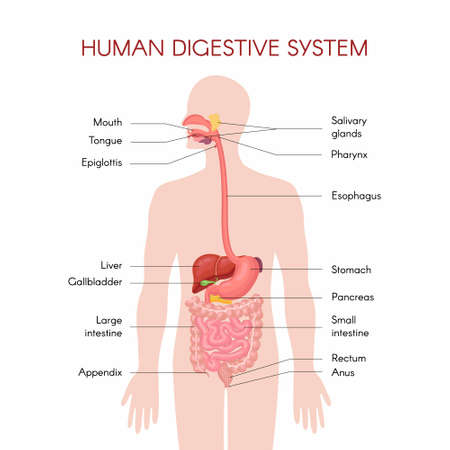 Anatomy of the human digestive organs with description of the corresponding functions internal organs. Anatomical vector illustration in flat style isolated over white background.