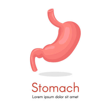 Human stomach for study book isolated on white background. Stomach and digestion organ system, vector illustration