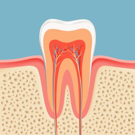 vasos sanguineos: diente humano en un corte