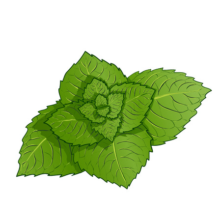 sprig: Sprig of mint. Isolated on white background. Stock Vector. Illustration