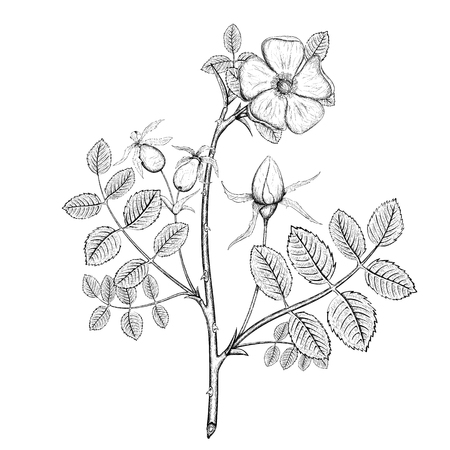 eglantine: Plant briar. Flower and fruit. Stock Vector Image.