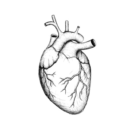 anatomia: Corazón humano. Órganos internos. Anatomía. Imagen vectorial.