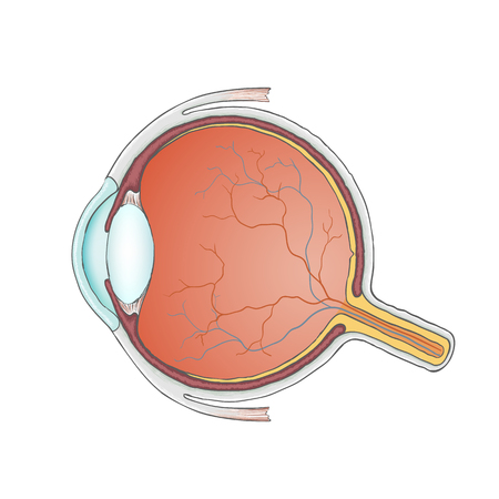 optic nerve: Human eye. Anatomy. Structure of the eyeball. Stock Vector.