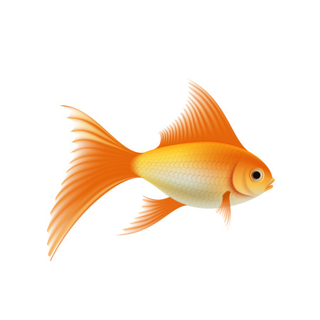 Gold fish. Isolated on white background.