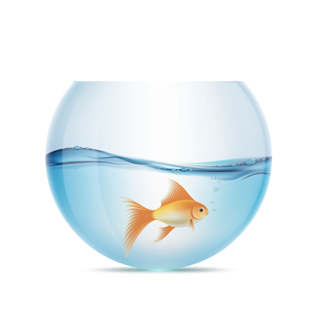 Goldfish floats in a transparent aquarium.