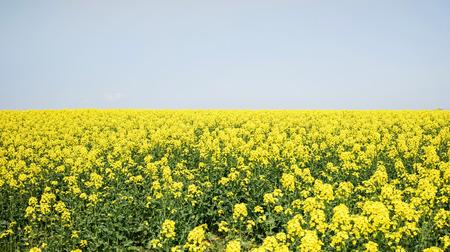 colza: Yellow Field Brassica napus, colza, canola or rapeseed ,Hokkaido Japan