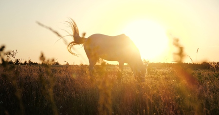 White horse eating rusty grass in a windy weather at sunset