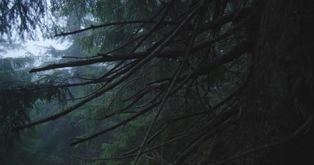 Dikke pijnbomen en blauwe stippen ertussen in de Karpaten