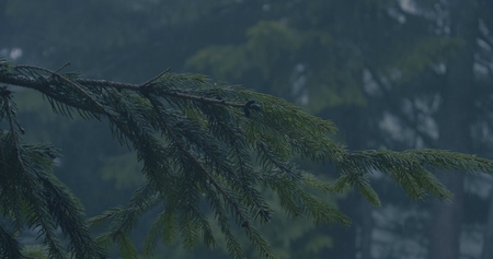 Green twig of a fir tree in a dark forest in slow motion during rain. 写真素材