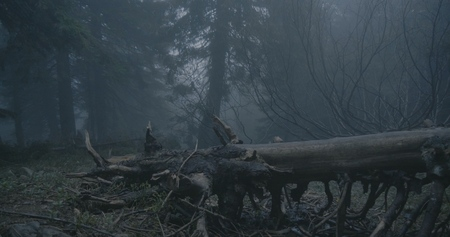 Fallen tree with curvy branches in a dark forest in the Carpathians 写真素材