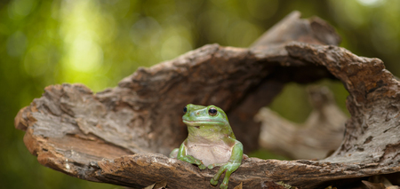 green tree frog: Green tree frog sitting on the log