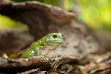 animals amphibious: Green tree frog sitting on the log