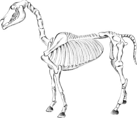 The Vector anatomical structure of the skeleton of the horse for T-shirt print  design or outwear.  Hunting style horse background. This drawing would be nice to make on the black fabric or canvas