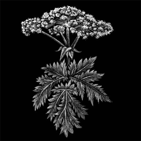 hogweed for tattoo or T-shirt design or outwear.  Cute print style hogweed background. This drawing is for black fabric or canvas Ilustração