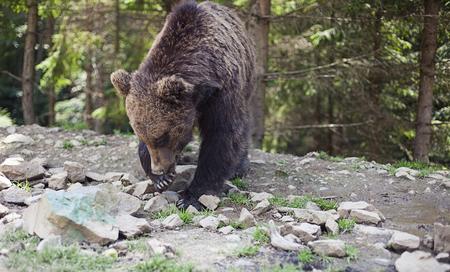 kodiak: Close up of a wild big male brown bear in colorful green rocky terrain swamp carefully watching surroundings