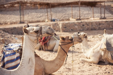 Safari trip in desert with camels in Sharm El Sheikh Egypt Stock Photo