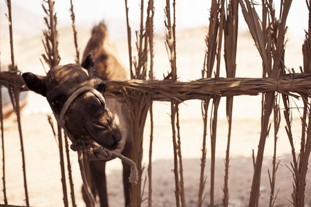 Young camel looks from behind a fence in Sharm El Sheikh Egypt Stock Photo
