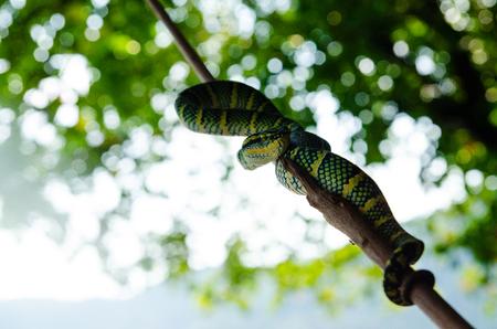 Tropidolaemus wagleri poisonous snake green yellow striped asian Stock Photo