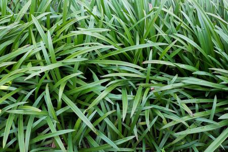 pandanus: Background of pandanus leaf