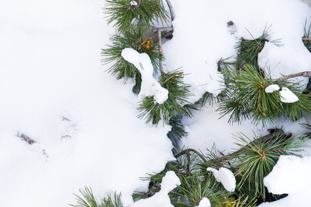 powder snow: Pine tree covered by powder snow Stock Photo