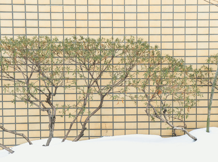 snow ground: Bush and vintage tile wall with snow ground Stock Photo