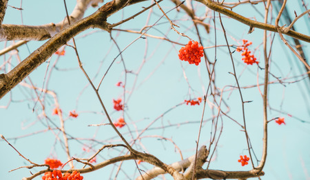 ash berry: Red rowan berries and branches with blue sky Stock Photo