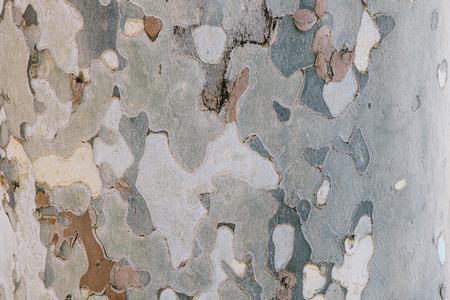 Texture of plane tree  Camouflage tree bark background photo