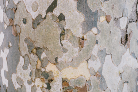 Texture of plane tree  Camouflage tree bark background