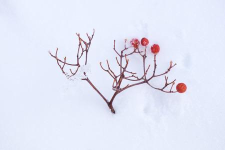 rowanberry: Rowanberry twig fall on snow