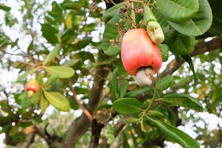 cashew tree: Cashew nut growing on tree