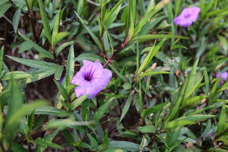 acanthaceae: Thai local flower, Ruellia tuberosa