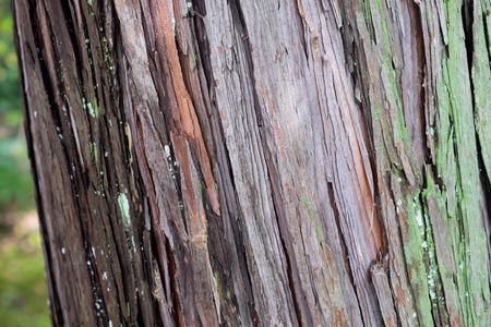 gingko: Gingko tree bark texture