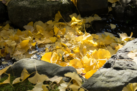 Sunlight shades on ginkgo leaves falls on waterway