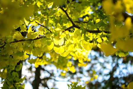 Yellow ginkgo leaf in sunlight in autumn