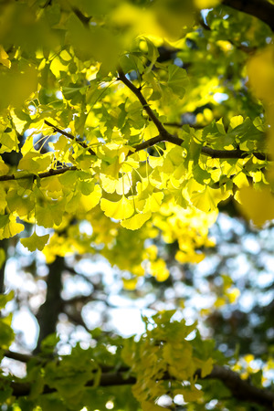 ginkgo leaf: Yellow ginkgo leaf in sunlight in autumn