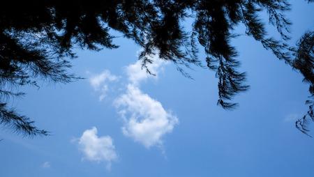 pine tree silhouette: Pine tree silhouette with clear blue sky