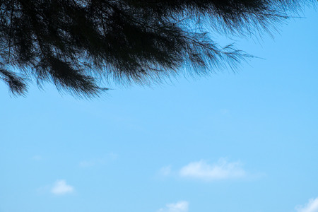 Pine tree silhouette with clear blue sky