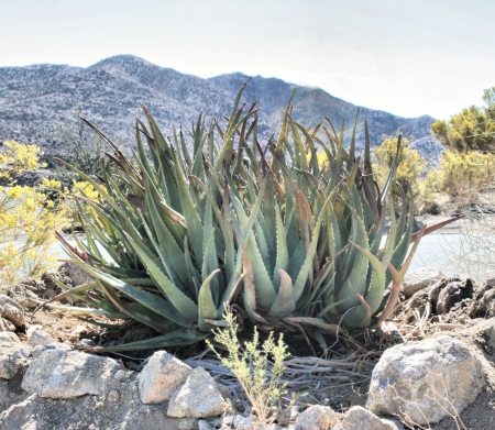 Aloe Vera Desert Scene Stock Photo