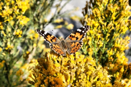 Monarch Butterfly on Yellow Wildflowers Stock Photo