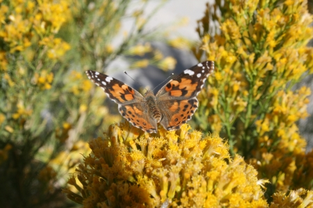 Butterfly on Yellow Desert Flowers