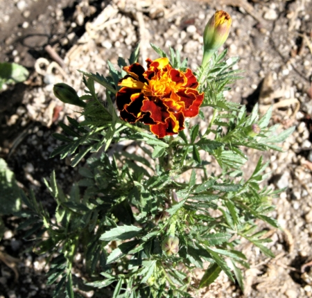 Marigold in the Desert