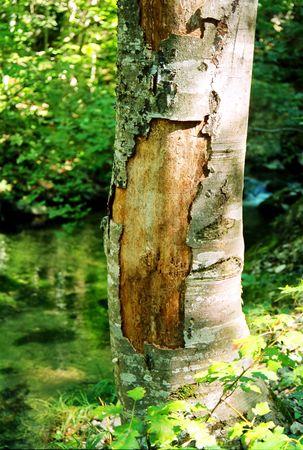 Big tree with the ragged bark. photo