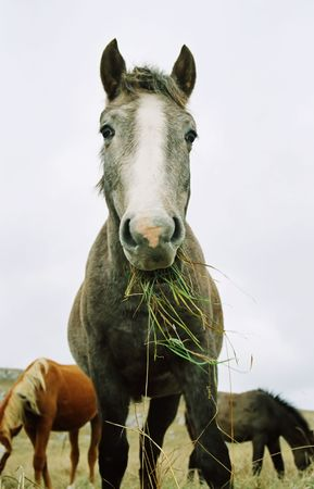Horse chewing the grass. photo