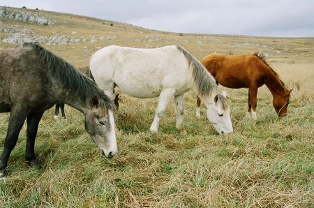 Three grazing horses of different colors. photo