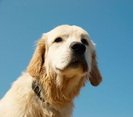 Golden retriever isolated on blue. photo