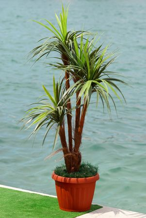 Green palm in the pot. photo