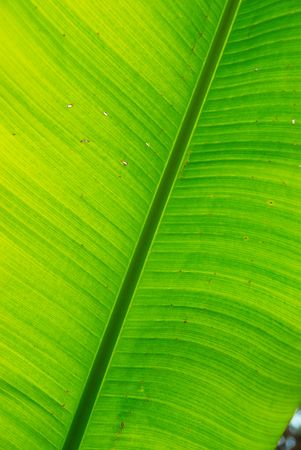 Fresh green banana leaf can be used for backgrounds. Stock Photo - 3932013